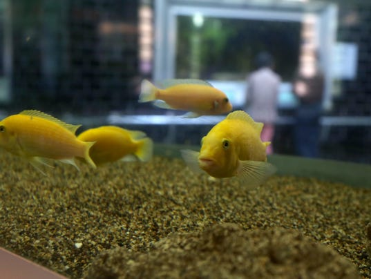 Why releasing pet fish into michigan 39 s waters is bad for for Why fish is bad for you