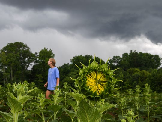 Caroline Roberts, an Agribusiness student at Clemson University, looks at incoming rain near a field of sunflowers nearing their peak, in the Sol Flower field in Anderson. Starting last year, Sol Flowers raised over $9,000 for Foothills Foundation in Anderson selling the flower they feel is good for the soul.