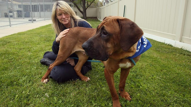 Becky Burton, vice president of direct animal care and lifesaving parnerships with Myrle, a three-year-old Mastiff mix, one of the dozens of dogs rescued from a meat farm in South Korea.