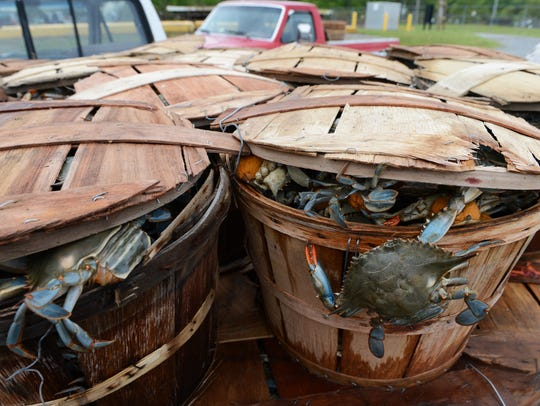 A blue crab hangs outside its bushel basket after being