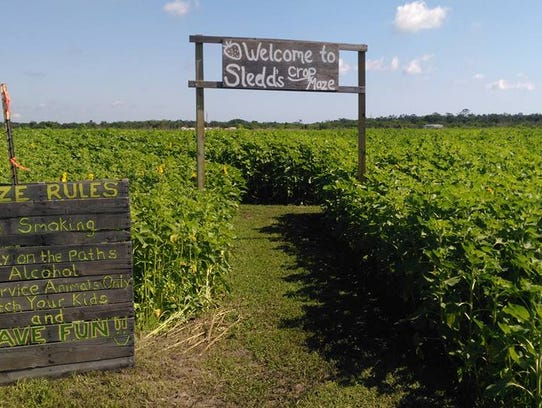 The sunflower maze at Sledd's U-pick in Mims.