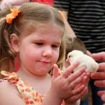 Farrah Dinius, 3, gets an up close look at a chick during Spring Fest Saturday, April 18, 2015, at Purdue University.