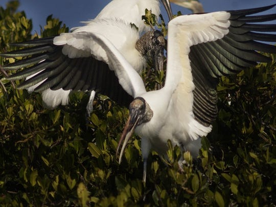 Woodstorks jockey for position on a mangrove island on the Caloosahatchee River.