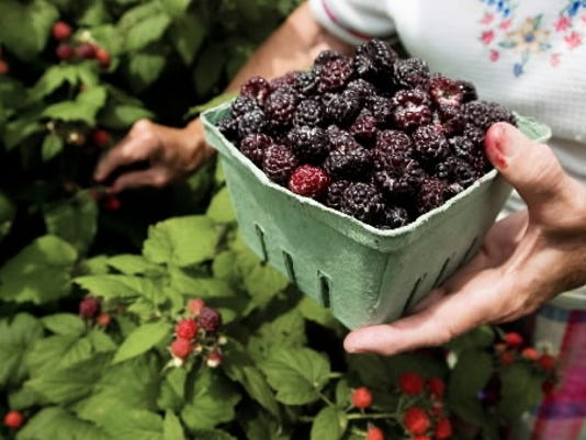File photo; Black raspberries, like this bunch shown on a farm in June 2008, will be in season in a few weeks.