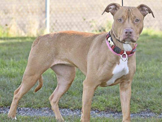 Daphne is a 2-year-old Pit Bull terrier mix, looking