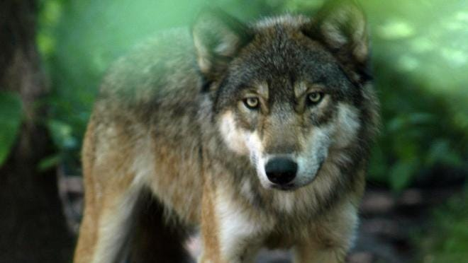 Dogs can be used in wolf hunts, a state appeals court has affirmed.