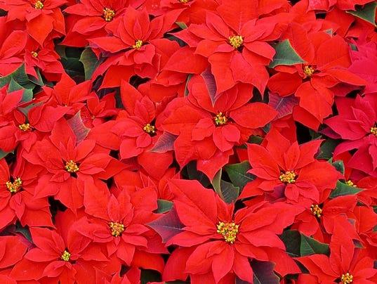 Red-Poinsettias.jpg
