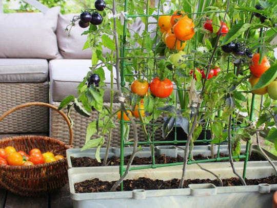 Tomato plants can thrive in a container, especially because they make great use of unused vertical space.