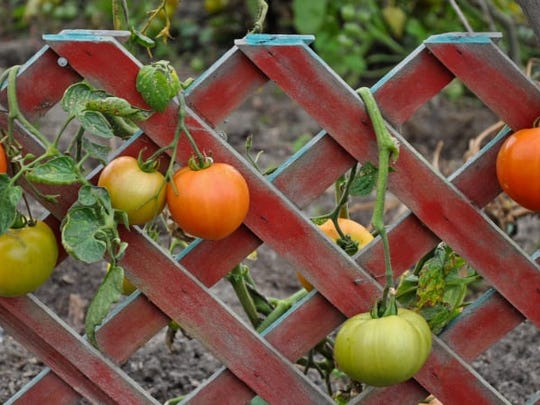 Using a trellis can help keep vegetables off the ground and away from hungry animals.