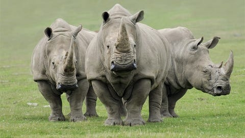 Three bachelor white rhinos are planned to move into the elephant habitat in the spring at the Nashville Zoo at Grassmere.