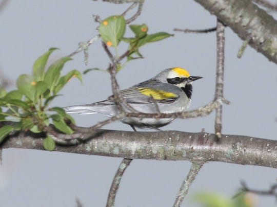 The golden-winged warbler, which can be found in the Buck Creek area of Nantahala National Forest, is listed as a species of greatest conservation need by the N.C. Wildlife Resources Commission.