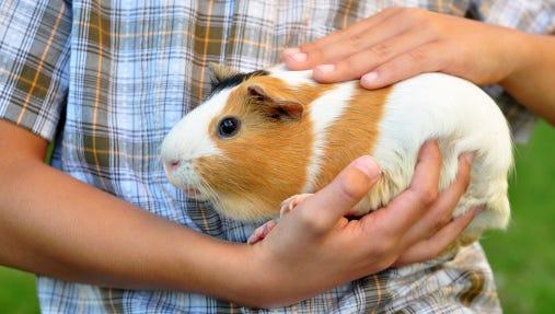 File: Guinea pig
