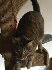 Gracie is a 3-year-old, spayed female brown/tortoiseshell