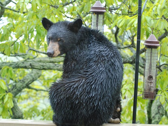 Most black bears probably survived the recent wildfires, as they're adept at avoid fires unless they are denning for the winter.