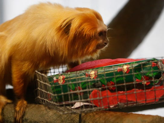 A golden lion tamarin examines an enrichment gift with