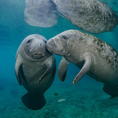Two Florida manatees socialize in the Warm Springs,