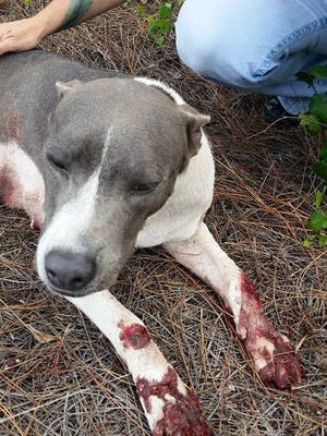 A dog was euthanized after it was dragged behind car and tortured in Clewiston