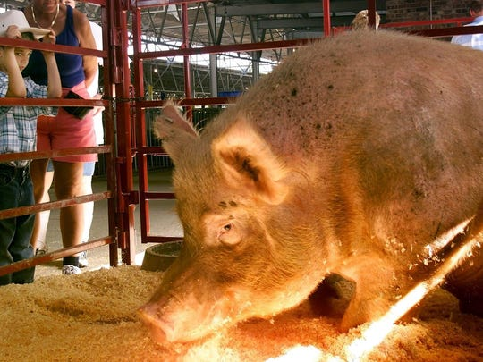 Seven-year-old Daniel Bartels of Des Moines looked on as Boaris, the winning Big Boar at the 2002 Iowa State Fair, settled into his stall at the Swine Barn. The boar weighed 1,121 pounds and belonged to Bruce Brant of Earlham.