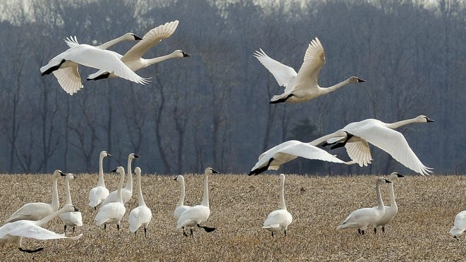 An unusual sight for this time of year, a large flock of tundra swans is spotted in Milton, Del.