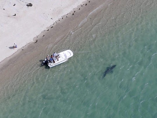 Cape Cod Sharks
