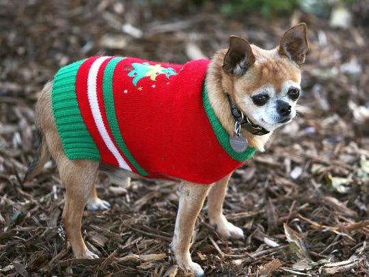 An 8-year old Chihuahua named Coco goes out in the winter cold in his new Christmas sweater.