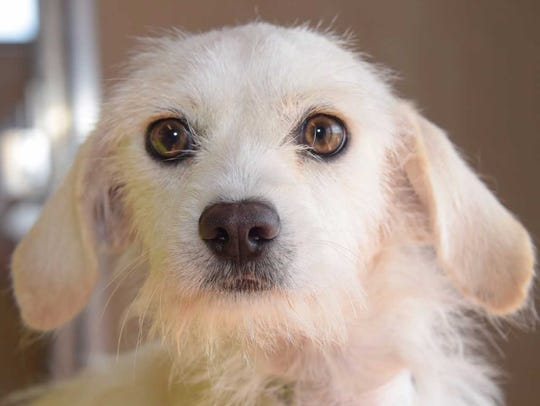 Autumn - Female terrier, adult. Intake date:9/29/2017