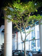 MidiCi has a live olive tree, named Sophia, growing in the restaurant.