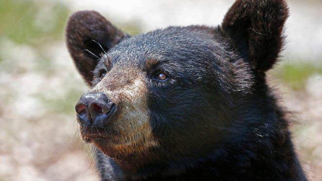 The black bear, New Jersey's largest land animal, has been sighted in all 21 counties, but their population is densest in the northwestern part of the state, including Sussex, Warren, Passaic and Morris counties.