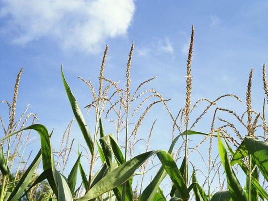 xx-cornfield.jpg