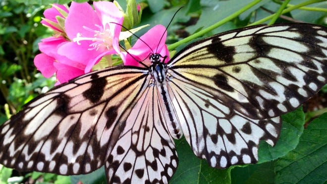 Butterflies can transform static landscapes into scenes of vibrant motion and color. Some are the size of a fingernail, while others are the size of a cell phone.