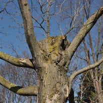 Dr. Dirt: Don't top trees while pruning