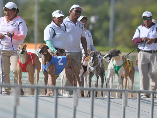 Greyhounds are escorted out on the track by their handlers at the Naples-Fort Myers Greyhound Track.