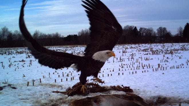 Trail cams set near road-killed deer often capture photos of bald eagles and other birds and animals that scavenge for food.