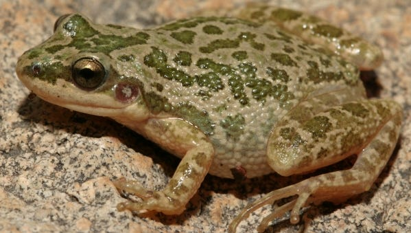 The Spotted Chorus Frog lives in cow pastures, and is considered to be the smallest frog in Texas.