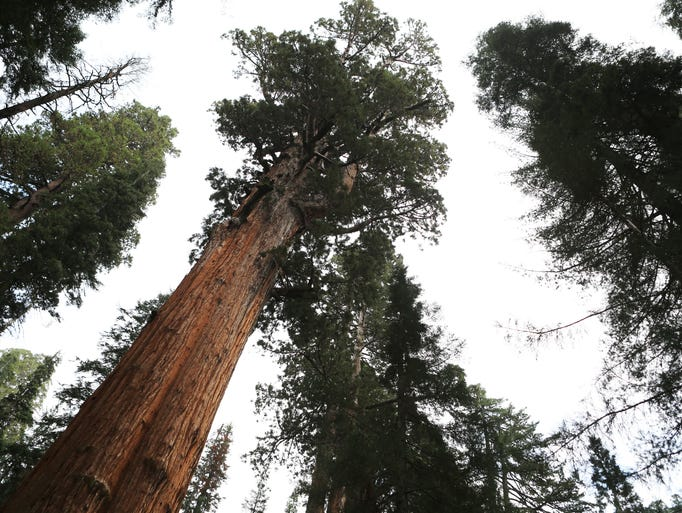 The famous General Sherman tree in the Giant Forest