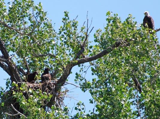 McGarry eagles