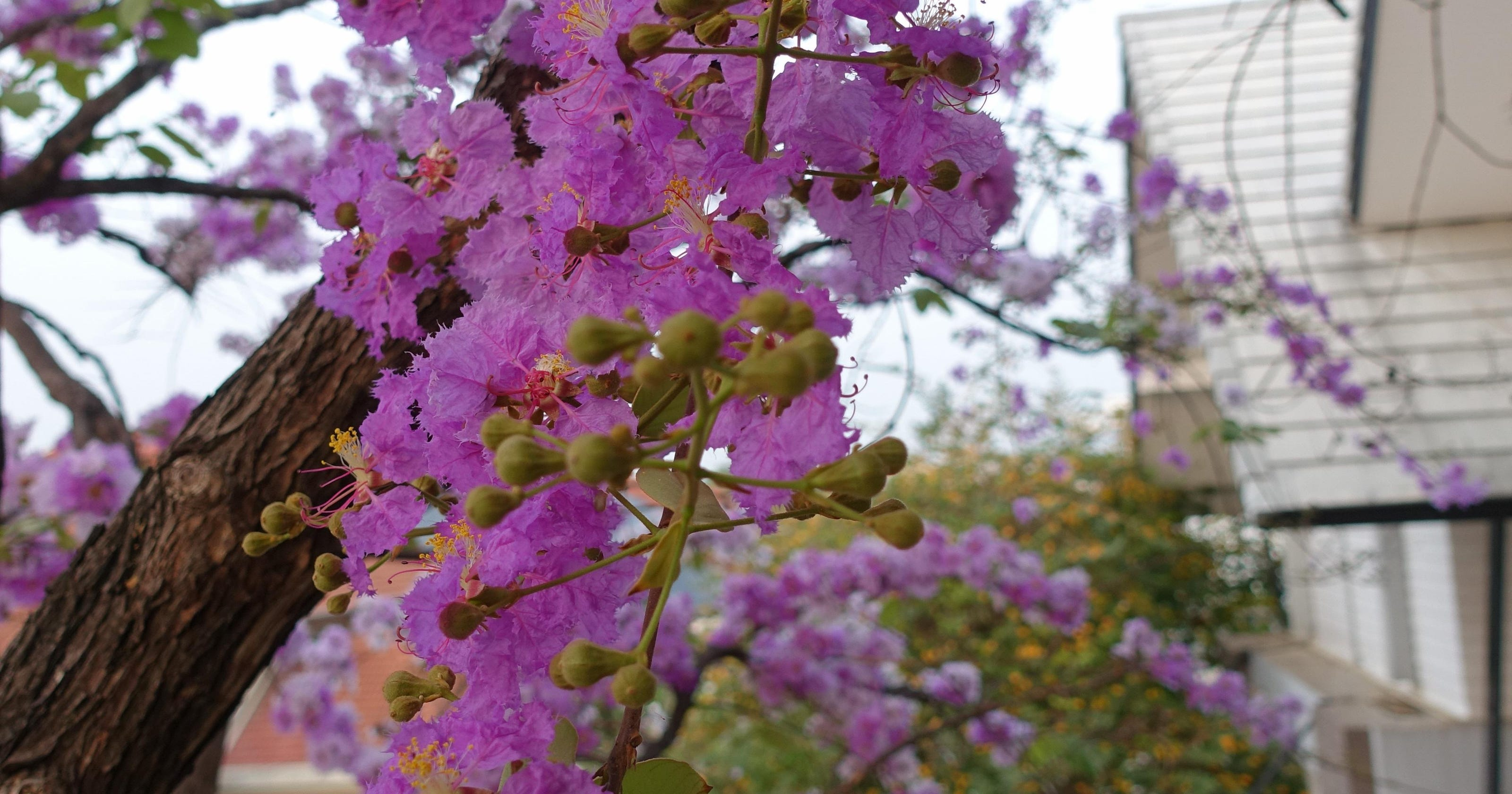 Landscaping Lagerstroemia For Urban