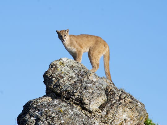 A cougar stands on a rock in 2012 near Kalispell, Montana. After disappearing from Tennessee almost a century ago, cougars have been reappearing in the state in recent years.