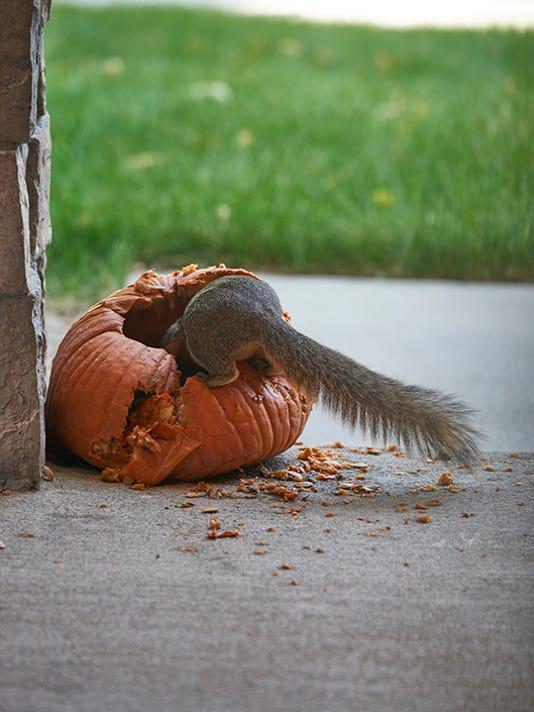 Arvada squirrel