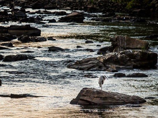 A blue heron sits on a rock in the Brandywine in Wilmington
