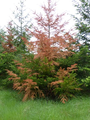 The discoloring on this Douglas-fir is evidence of flare out.