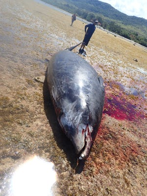 The carcass of a rare beaked whale was found stuck on the reef south of the Agat Marina Sunday. As of Monday afternoon, the 16-foot whale remained about 1,000 feet out from the shore, said Department of Agriculture Acting Director Matthew Sablan.