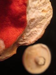 In the background sits an un-parasitized Lactarius piperatus. In the foreground you can see the pimply orange rind of parasitic Hypomyces lactifluorum that renders the brittle white flesh of the Lactarius edible. Together, they become the lobster mushroom.