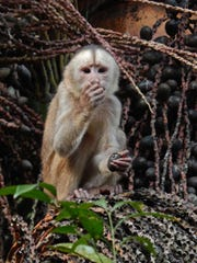 White-faced capuchin monkeys are among several primate