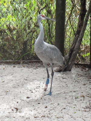 At Save our Seabirds in Sarasota, there are several sandhill cranes with prosthetic legs.