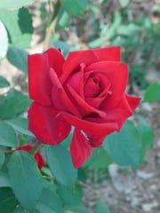This rose, called Little Ruby Baby, blooms in Melanie Boyd's garden.