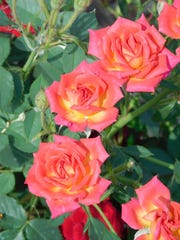 These tea roses are in bloom in June.