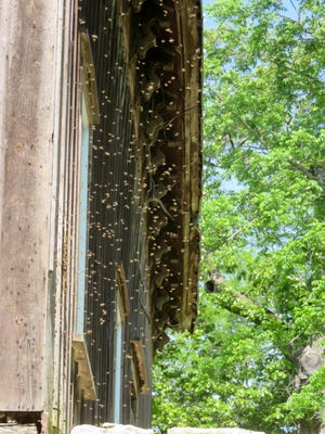 These honeybees swarmed out of the barn and soon went back in.
