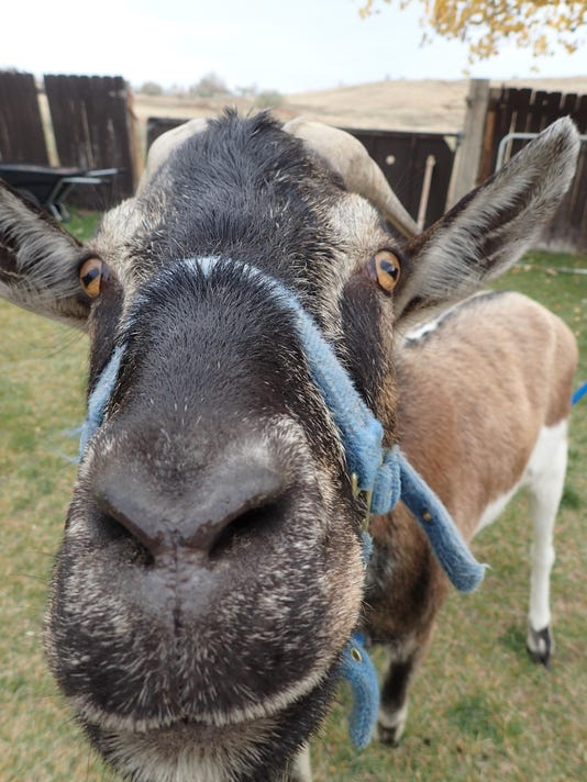 The goats are exceptionally friendly and curious. They're ready to go anywhe