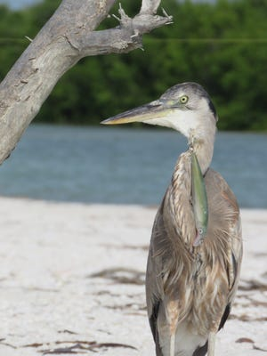 A local great blue heron has been unable to properly swallow since Thanksgiving due to a fishing hook stuck in its throat. The heron is frequently spotted near Tigertail Beach.